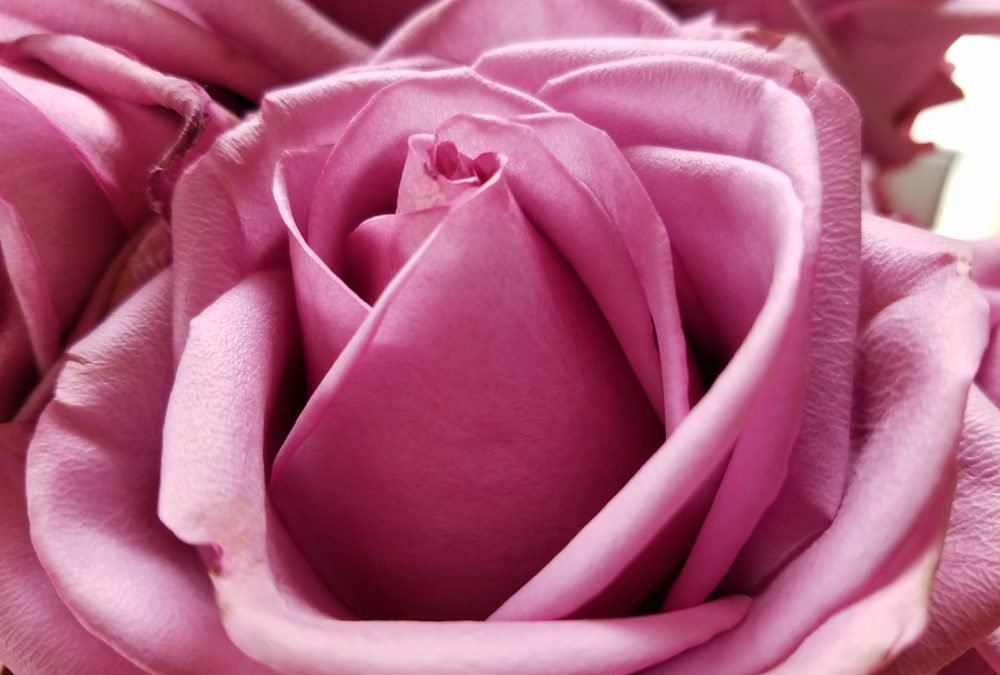 Rose Color Meanings For Every Color Rose Reader S Digest