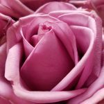 The Real Meanings Behind 11 Rose Colors