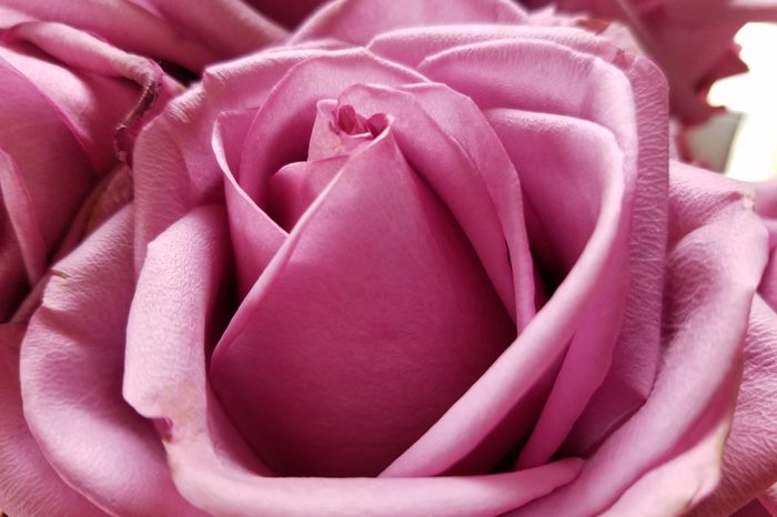 close up of lavender rose