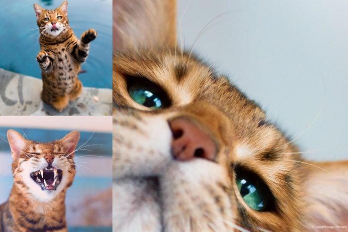 mango the bengel cat