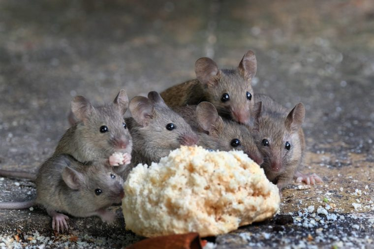 Family of mice eating cake in an urban house garden.