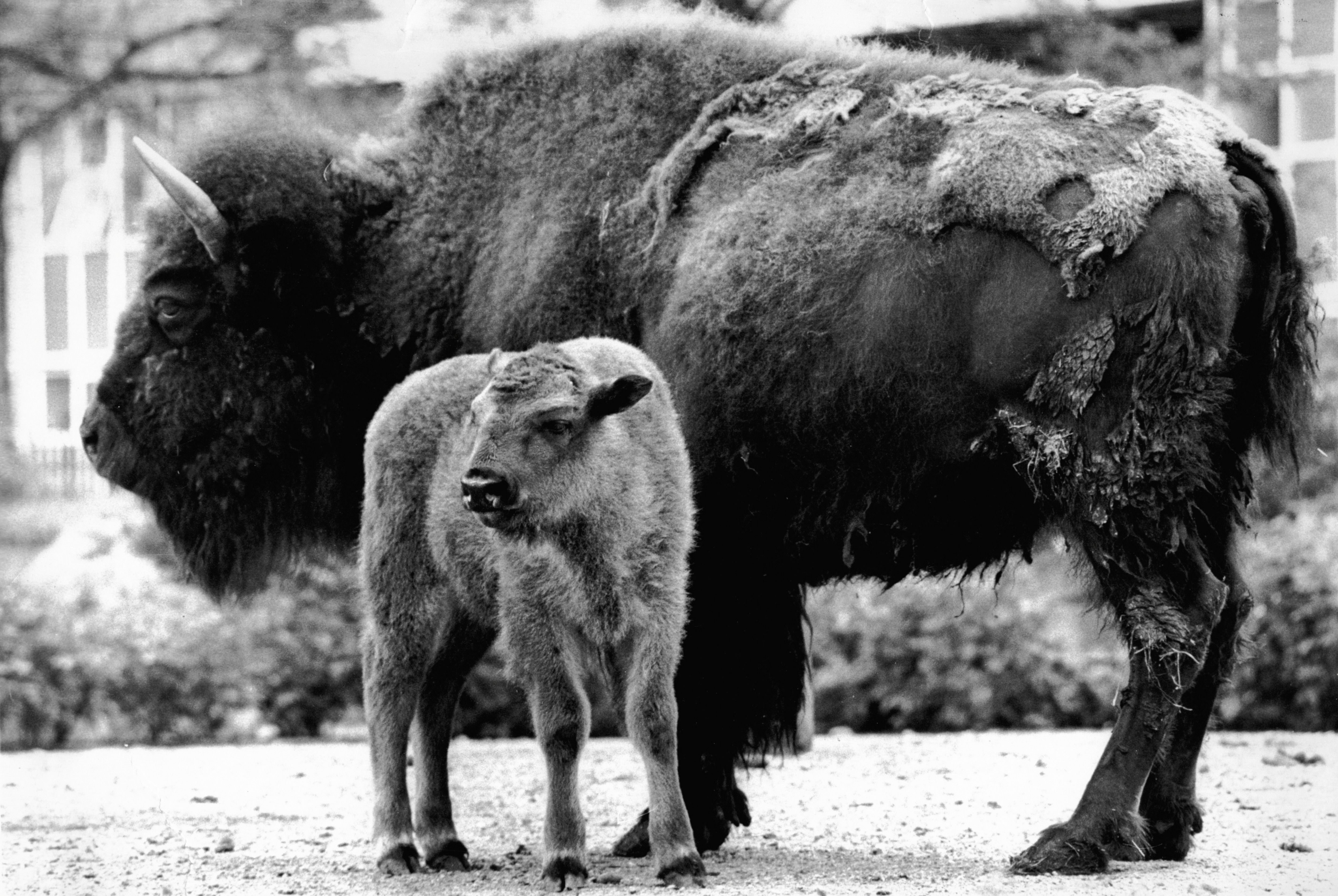 Mandatory Credit: Photo by Mike Maloney/ANL/Shutterstock (1415967a) North American Bison 'cherokee' With Her Three-week-old Calf 'apache' At London Zoo. North American Bison 'cherokee' With Her Three-week-old Calf 'apache' At London Zoo.