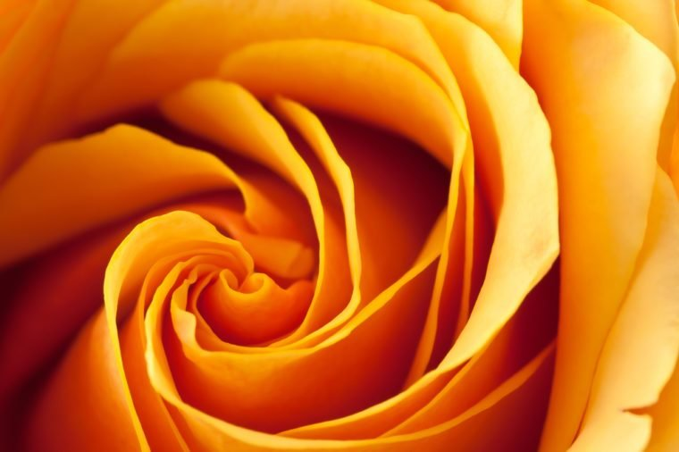 Closeup of a blooming orange and yellow rose.
