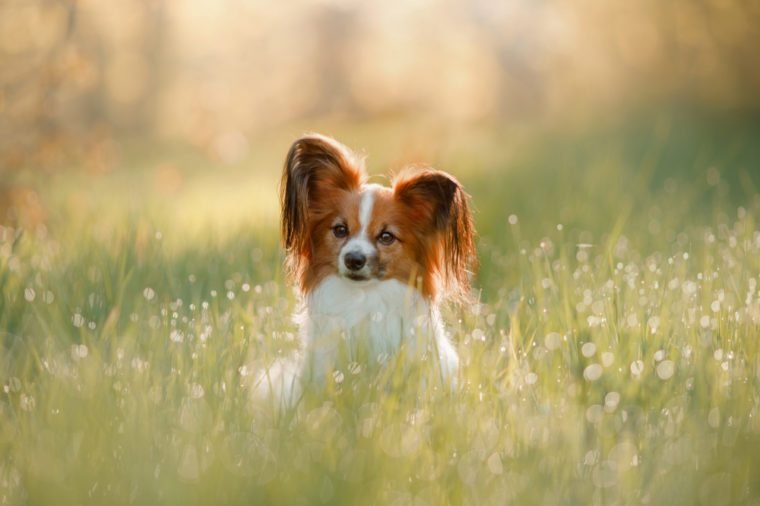 Dog papillon on in a field of flowers. spring pet