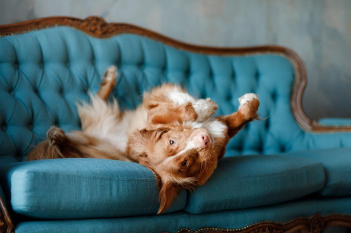 the dog lies on the blue couch. The pet is resting. Nova Scotia Duck Tolling Retriever, Toller