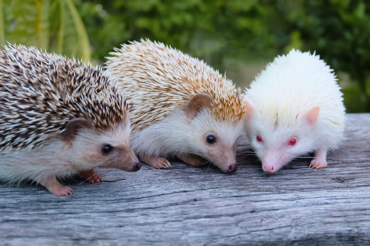 Dwarf Hedgehog and Friends Are looking at food with dwarf hedgehogs.