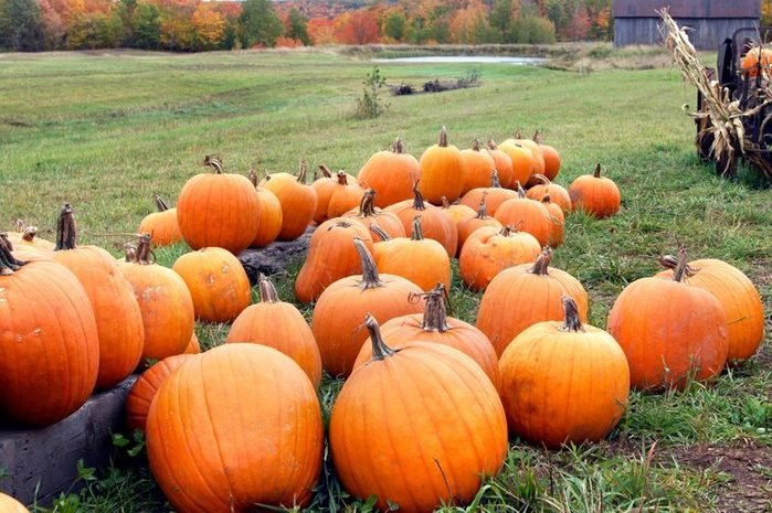 Pile of orange pumpkins sit in field ready for pickup. Old wagon has load of pumpkins and corn stalks.