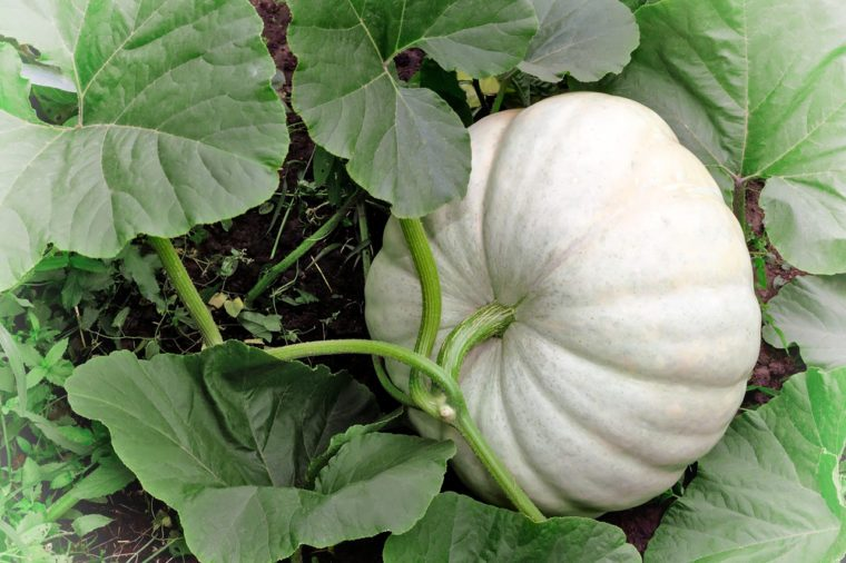 In the garden among green leaves is growing a big pumpkin is white.