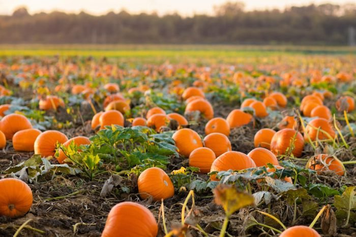 Beautiful pumpkin field in Germany, Europe. Halloween pumpkins on farm. Pumpkin patch on a sunny autumn morning during Thanksgiving time. Organic vegetable farming. Harvest season in October.