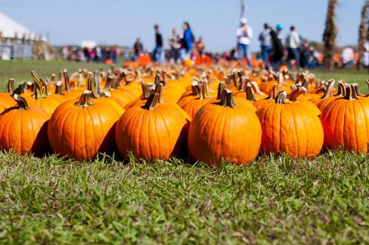 Rows of pumpkins at a pumpkin farm