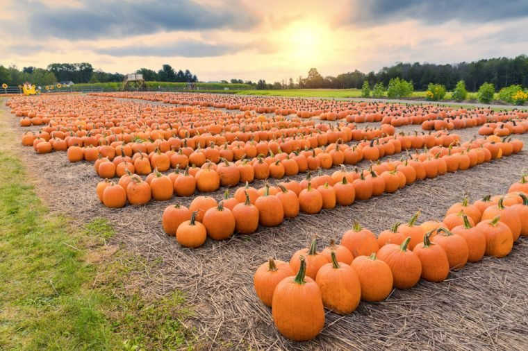 a field of picked pumpkins arranged geometrically