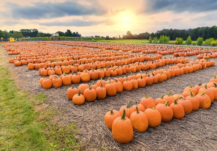 a field of picked pumpkins arranged geometrically