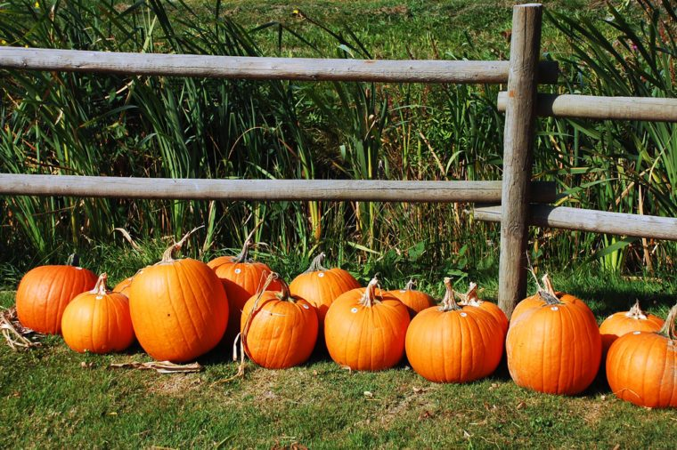 Pumpkins in a row on farm