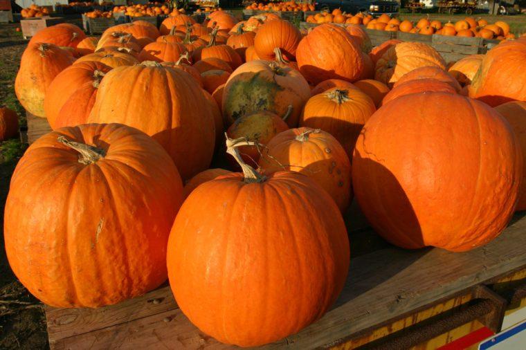 Pumpkin in Farm at Sunset