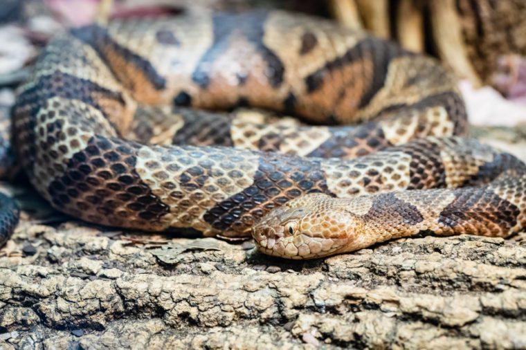 A rattlesnake coiled on a tree branch.