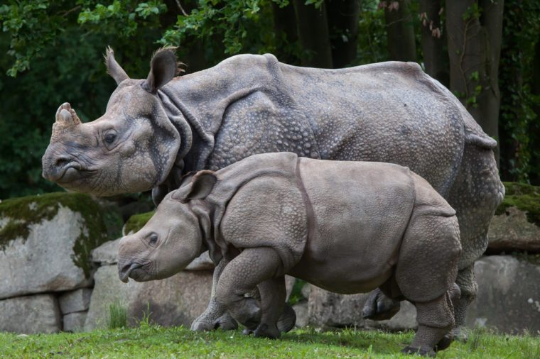 Newborn Indian rhinoceros (Rhinoceros unicornis) with its mother.