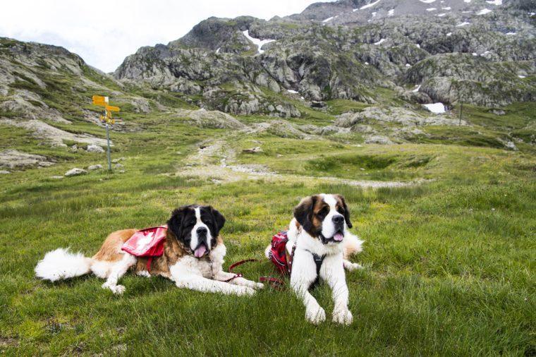 brave st bernards of switzerland