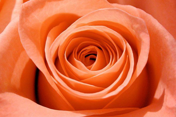 salmon pink rose macro