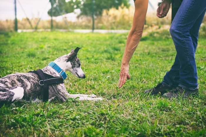 Woman is training her dog to lie down. Whippet dog learns the command to lie down. Cute pet greyhound.