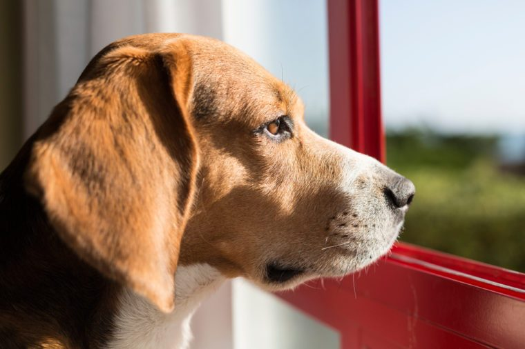 Beagle breed dog in a window