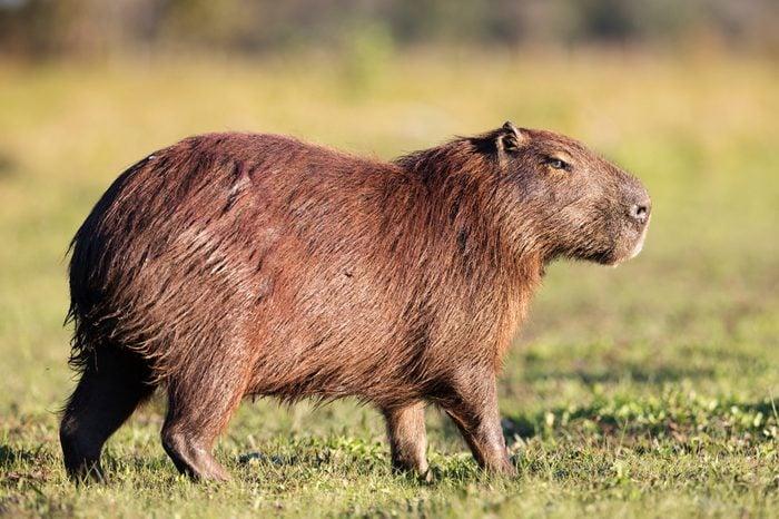 Capybara in Brasil Pantanal.