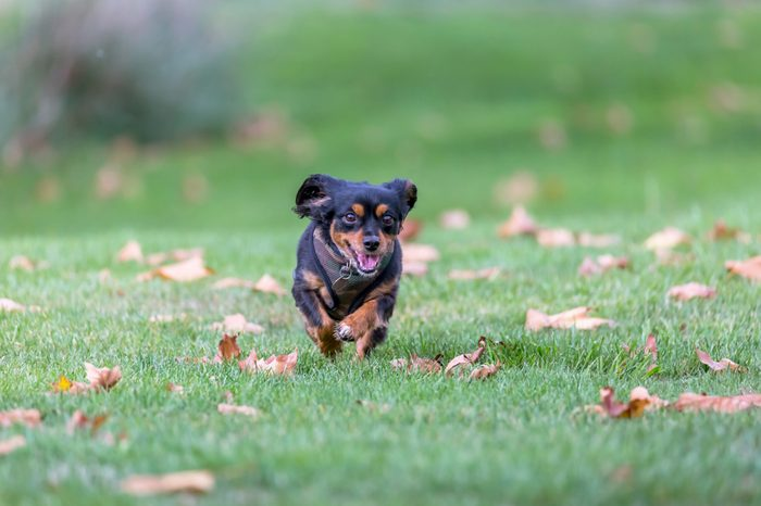 Small dog running in an off leash area enjoying the outdoors
