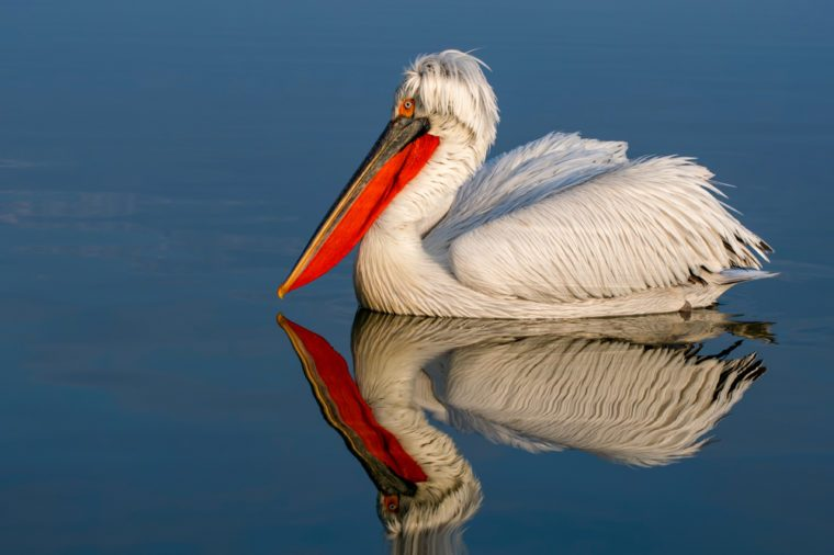 Dalmatian pelican water reflection