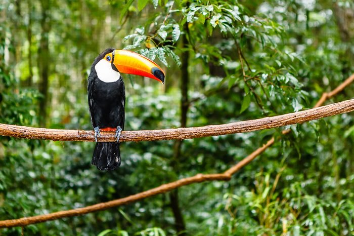 toucan in rain forest with tree and foliage, early in the morning after rain.