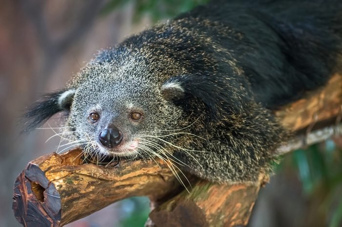 Binturong, Bearcat, Arctictis binturong in zoo
