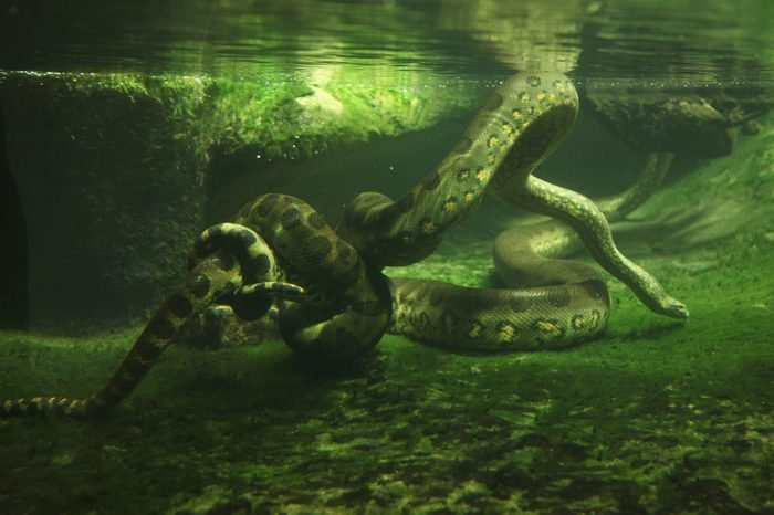 Green anaconda (Eunectes murinus) swimming underwater. Wildlife animal.