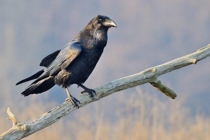 Common Raven (Corvus Corax) On the Branch