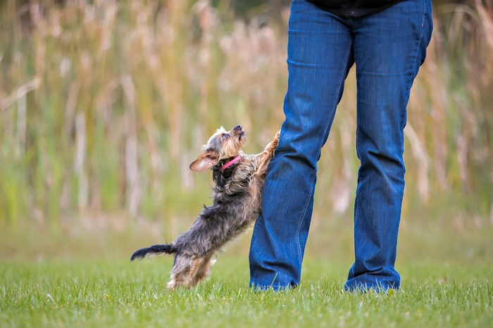 Yorkie jumping up at owners legs