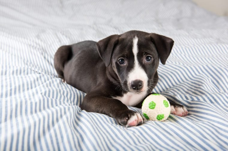 Pit Bull and Labrador Mix Black Puppy Falling Asleep on Human Bed with Soccer Ball