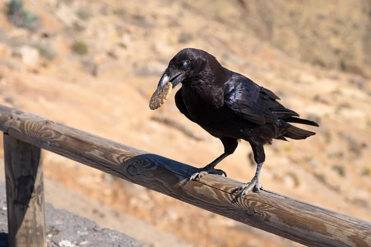 Crow eating a biscuit
