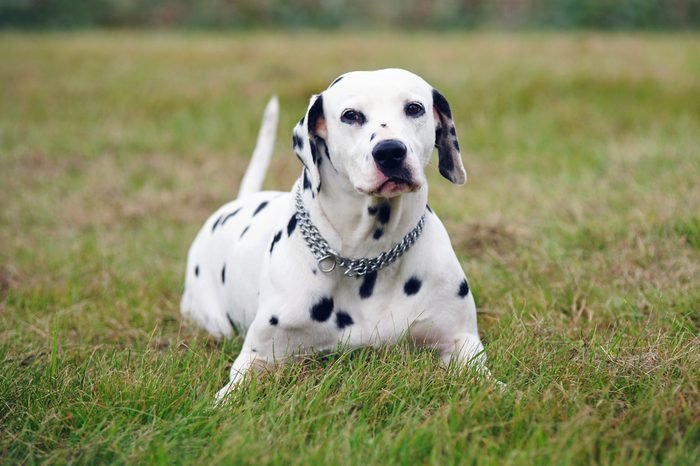 Dalmatian dog lying outdoors on a green grass in a field