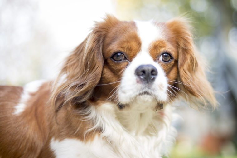Beautiful brown white dog portrait Cavalier King Charles Spaniel