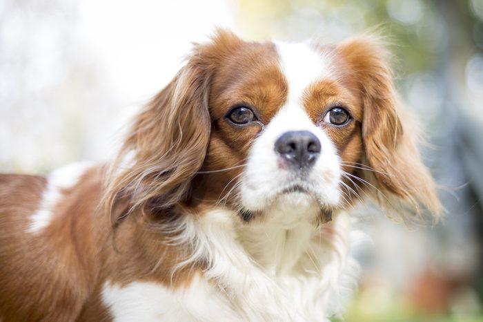 Beautiful brown white dog portrait Cavalier King Charles Spaniel