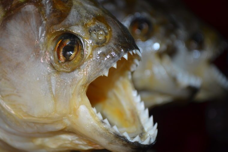 Red-bellied Piranhas on sale at a tourist market in Iquitos, in the Peruvian Amazon