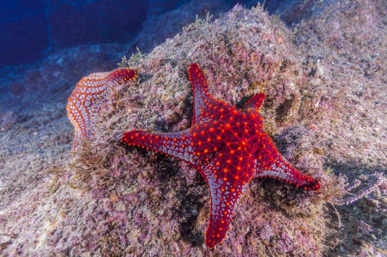 Mexican Starfish