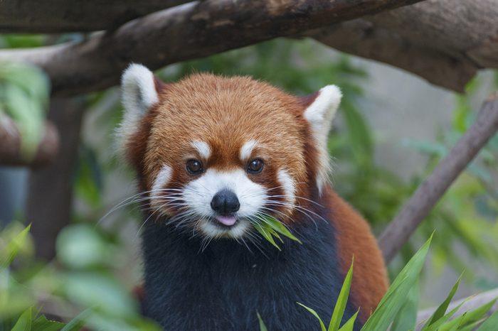 Red Panda, Firefox or Lesser Panda (Ailurus fulgens)