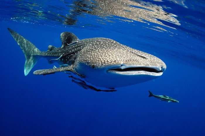 Whale shark is a big fish in the sea.
