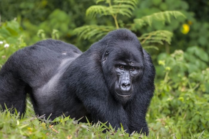 Silver back male of eastern gorilla in rain forest.