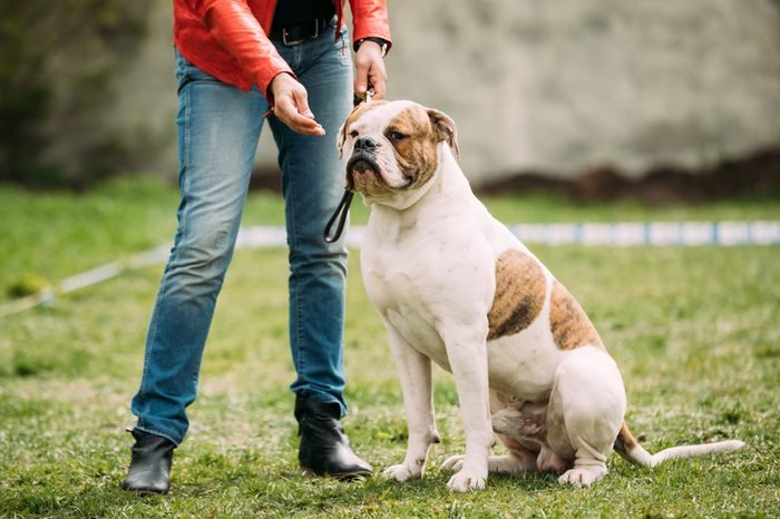 Male Red And White American Bulldog Dog Sitting Near Woman In Green Grass During Training.