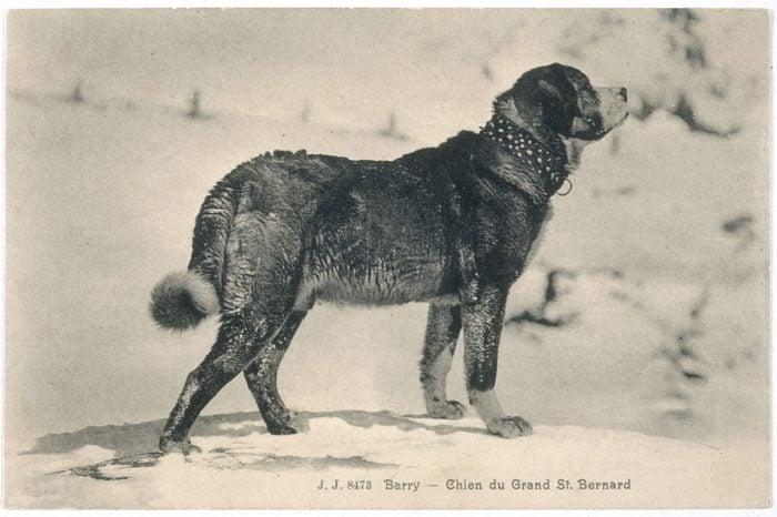 barry st. bernard dog