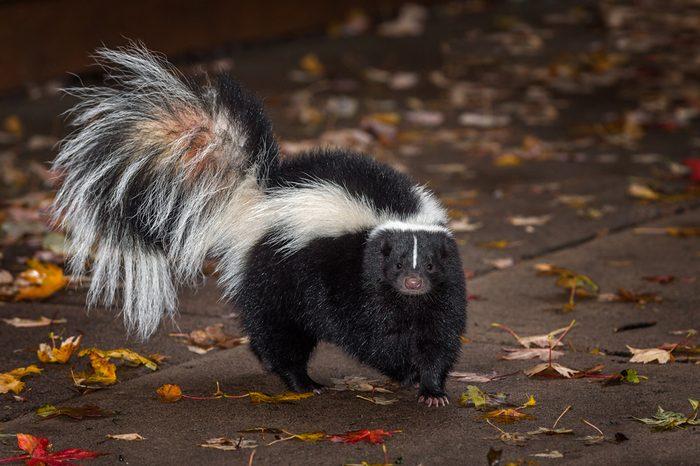 Striped Skunk (Mephitis mephitis) Turns on Pavers - captive animal