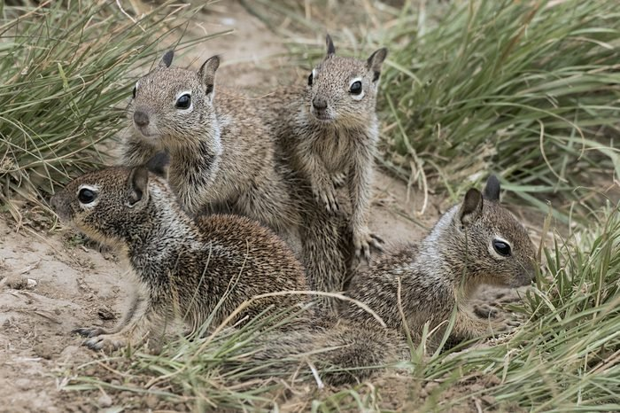 A group of young ground squirrels playing at the local park