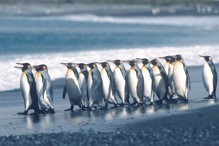 UK, South Georgia Island, colony of King Penguins marching on beach, side view