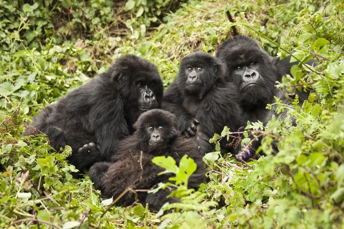 Mountain gorilla, Gorilla beringei beringei, Amahoro group, family group, silverback, female, baby or babies, Volcanoes National Park, Rwanda, East Africa