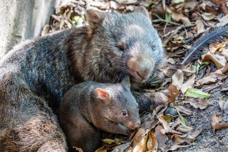Female wombat with her joey, Queensland, Australia