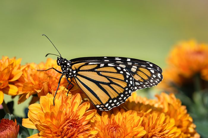 Monarch butterfly (Danaus plexippus) on orange Mum flowers during autumn migration. Natural green background with copy space